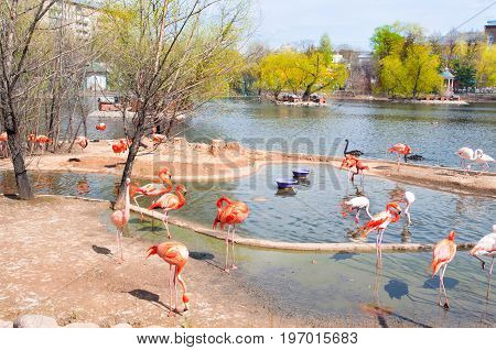 Flamboyance of flamingos during the early spring in Moscow Zoo Russia.