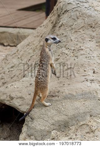 Watchful meerkat standing guard at the sand.