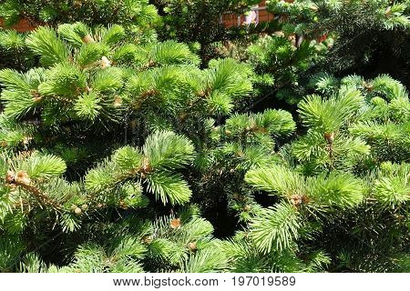 Fresh Green Leafage Of Spruce In Spring