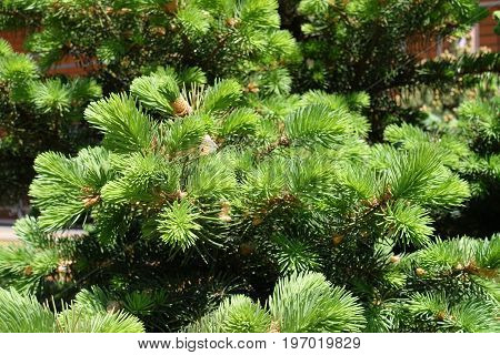 Lush Green Needle Like Leaves Of Spruce
