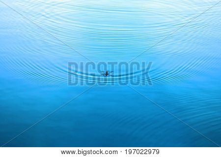 Water strider on water. Ripples in the water surface