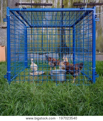 Hens trapped in too small blue cage. Feeding time with seeds and water
