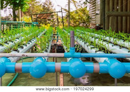 Organic Green Lettuce Small Plants Or Salad Vegetable Grown From Hydroponics System With Liquid Fert