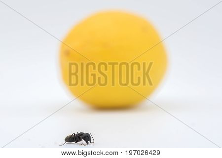 Ant Against Lemon And White Background
