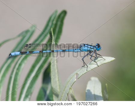 Blue Damselfly Coenagrionidae on grass macro selective focus shallow DOF.