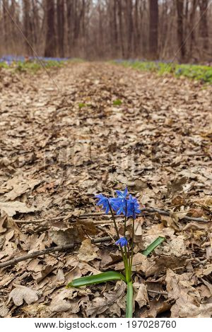 One bush of blue scilla flowers on a forest road. Shallow depth of field