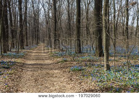 Road in the forest with blooming blue scilla