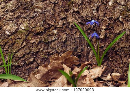 flowering scilla against the background of a tree bark. Selective focus