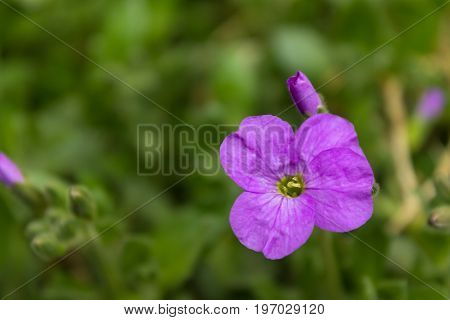 small purple flower close-up on a blurred green background. Shallow depth of field