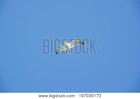 Beautiful flying seagull with blue sky background