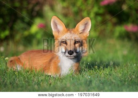 young fox lying down on grass in summer