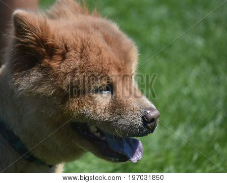 Scenic Side View of a Panting Chow Puppy
