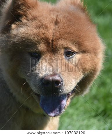 Adorable Close Up of a Chow Puppy Face