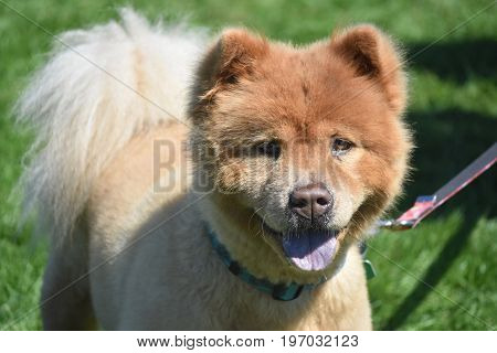 Precious Little Purebred Chow Puppy from China