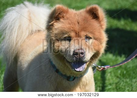 Lovable Brown Chow Puppy in the Summer