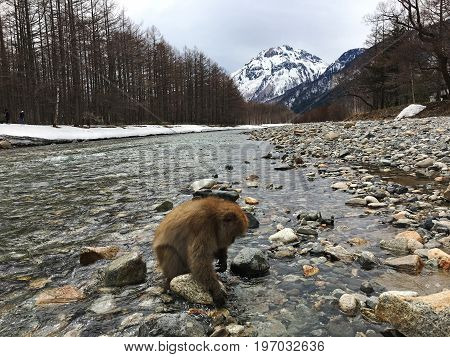 Japanese macaques in the Kamikochi National Park are looking for food in unfrozen Azuza River
