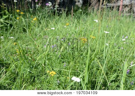 Grass And Flowers On A Meadow Close Up As Background
