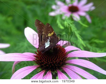 Silver Spotted Butterfly on Purple Coneflower Echinacea