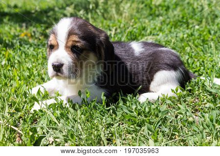 Little puppy of a hunting breed lies in the grass on a sunny day. Portrait of a young Beagle breed