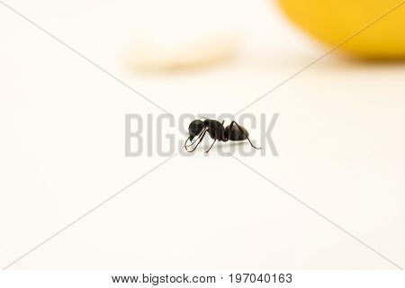 Single Ant On White Surface