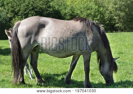 Wild horses in Neandertal. Tarpan is a Eurasian wild horse obtained by re-breeding.