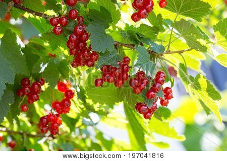 Background of red currant .Ripe red currants close-up as background. A bunch of red currants on a branch.