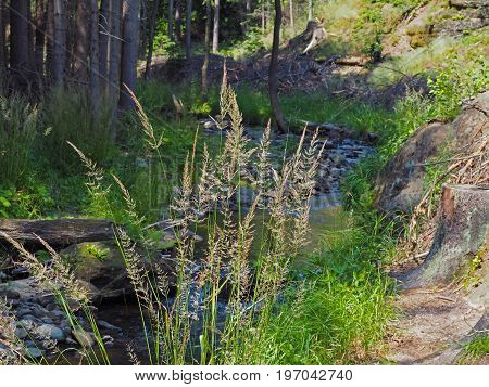 Forest Stream In Golden Light Wit Big Blooming Blade Of Grass And Stones