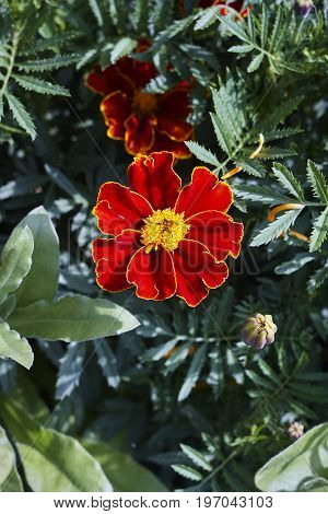 red yellow Tagetes marigold blossom and leaves close up
