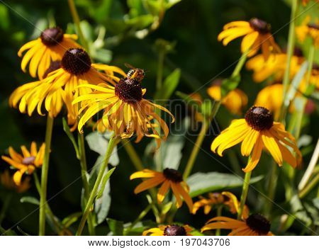 Wide shot of black-eyed susan flowers in the garden, with a bee sipping nectar from one of the flowers