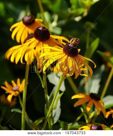 Close up of Black-eyed susan flowers in the garden, with a bee sipping nectar from one of the flowers