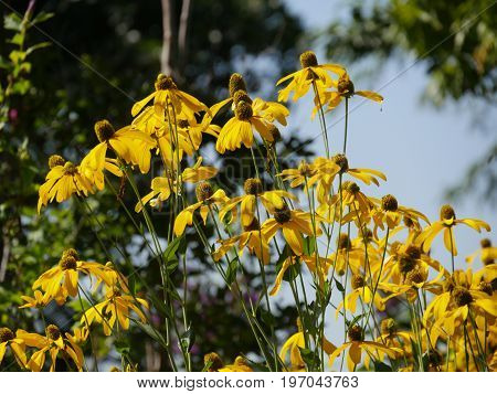 Patch of Black-eyed susan flowers in a garden, with blurred background
