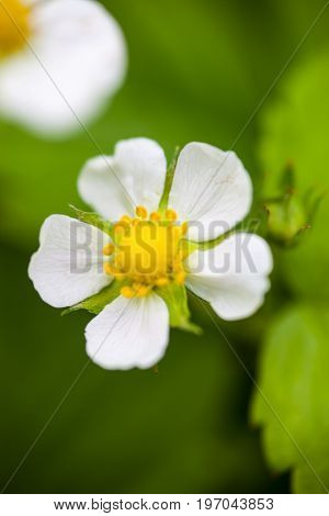 White flower of the wild strawberry (Fragaria vesca).