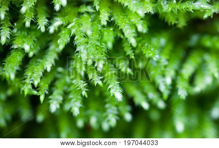 Dense green clumps of the green moss. Close up.