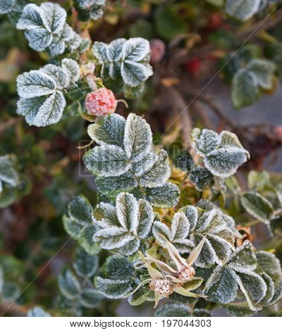 Hips and leaves of the dog rose bush covered with hoarfrost.