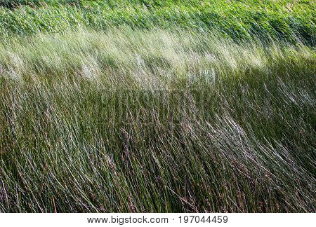 Tall grass in the field in a sunny and windy day.