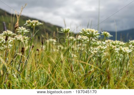 Beautiful floral background with delicate edelweiss flowers growing in the highlands on a meadow against the backdrop of mountains and cloudy sky