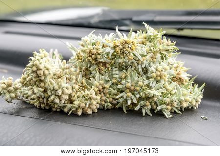 A beautiful bouquet of delicate fluffy edelweiss flowers lies on the car's panel in front of the windshield
