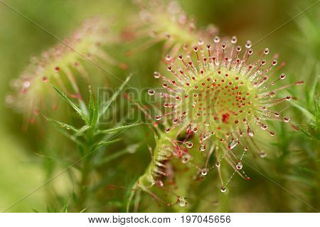 Sundew or Drosera rotundifolia in the wild selective focus