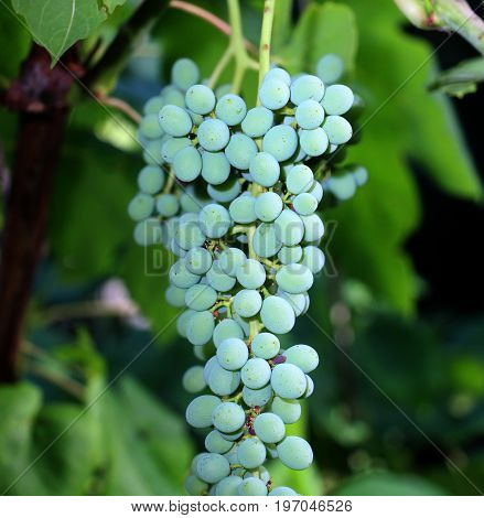 Green Grapes Growing On The Grape Vines