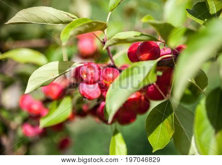 Pink Chinese apples on the green branch (Malus prunifolia plumleaf crab apple plum-leaved apple pear-leaf crabapple or Chinese crabapple). Close-up.