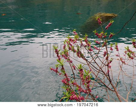 Flowering Tree on the Lake in Plitvice Lakes National Park, UNESCO World Heritage Site of Croatia