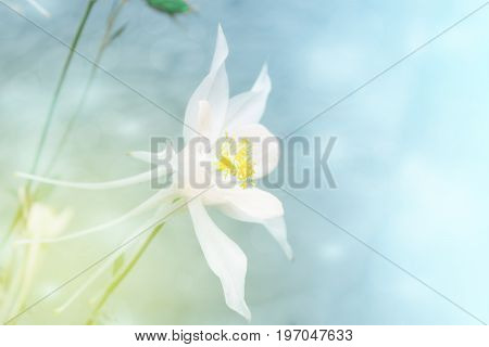 Delicate white flower aquilegia on a blurred background. Toned photo