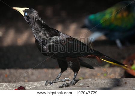 Crested oropendola (Psarocolius decumanus), also known as the Suriname crested oropendola.