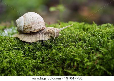 Land snail Helix pomatia on bright green forest moss copyspace closeup
