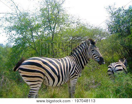Two zebras in Kruger national park in South Africa