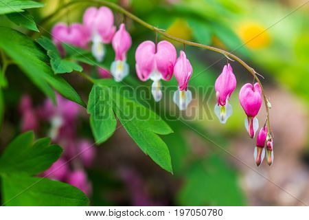 Macro Closeup Of Bleeding Heart Flowers Showing Detail And Texture