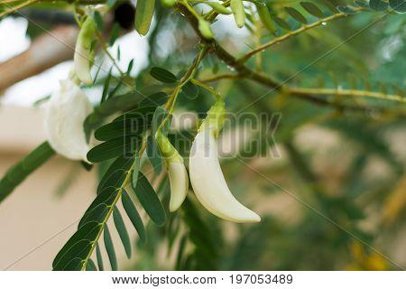 White Agasta Flower On Tree.