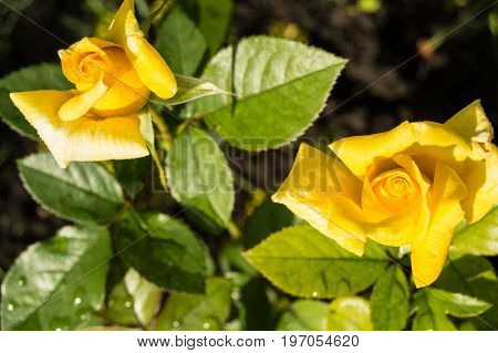 Two Beautiful Yellow Roses Blooming In A Garden Background Of Green Leaves And Stems, The Concept Of