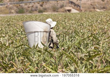 Murcia Spain - June 5 2017: Harvester with a big basket in an artichoke field in southern Spain