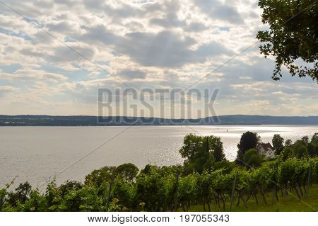 View of vine plants in Uhldingen on Lake Constance in Germany